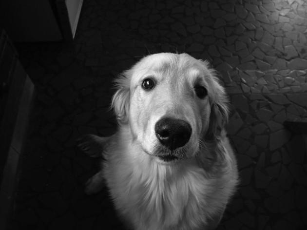 pies_wysokiemazowieckie