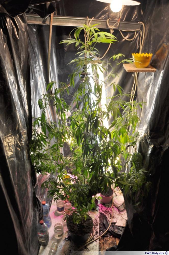 marihuana drzewko
